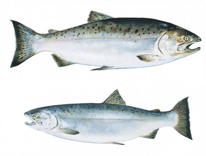 Risk Assessment for culture of King and Coho salmon in South Africa